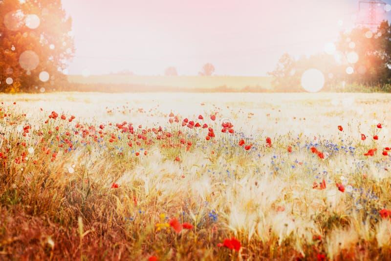Piękny maczka pole na zmierzchu lata natury tle obrazy royalty free