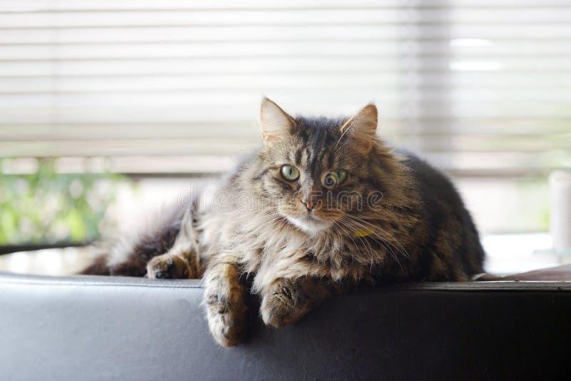 Piękny Maine Coon zwierzęcia domowego kot zdjęcia royalty free