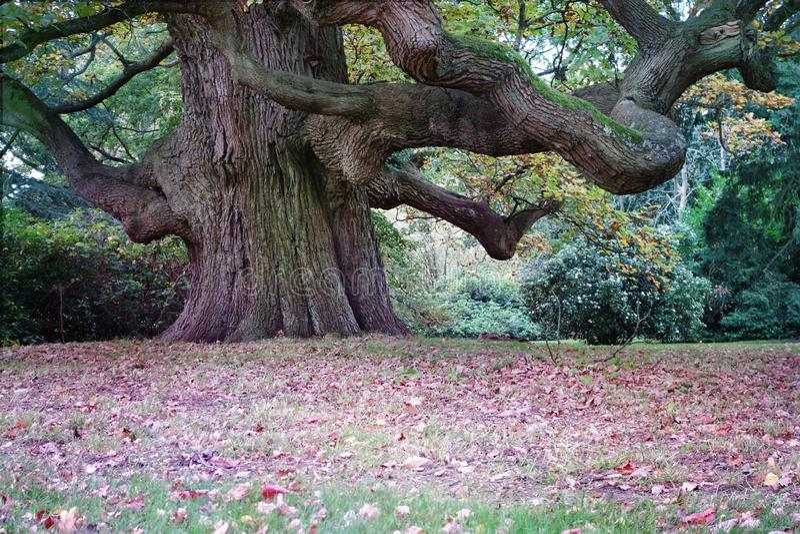 Piękny Majestatyczny Gigantyczny Dębowy drzewo zdjęcie stock