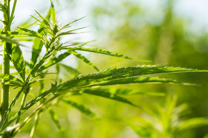 Piękny marihuany dorośnięcie w ogródzie Konopie opuszcza zbliżenie obrazy stock