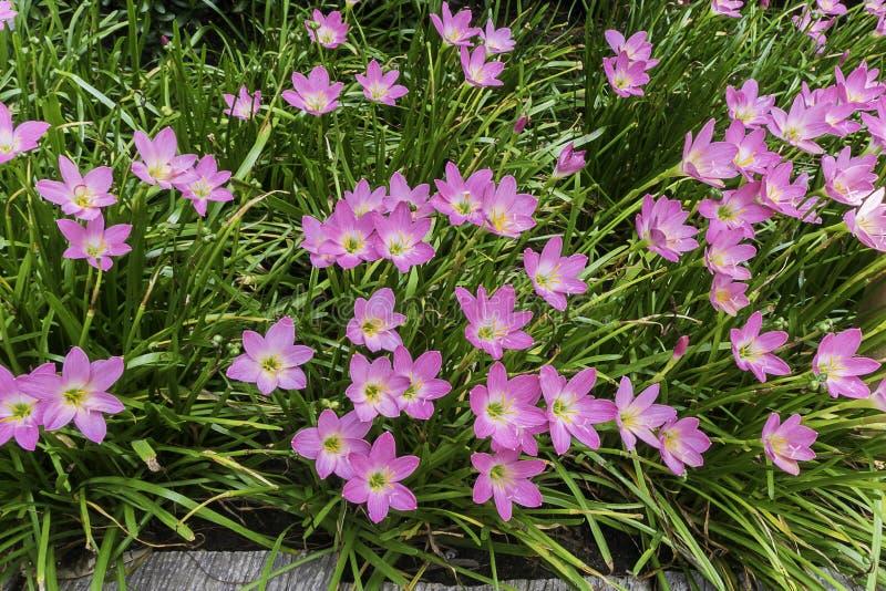 Piękny menchia deszczu lelui kwiat zdjęcia royalty free