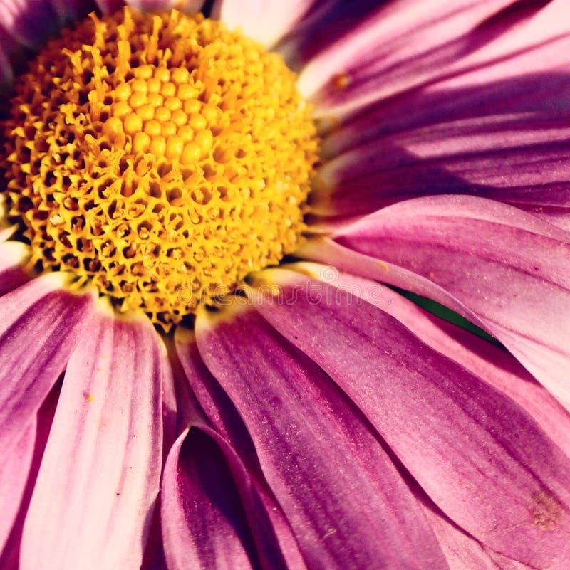 Piękny menchia kwiat kwitnie w lecie fotografia stock