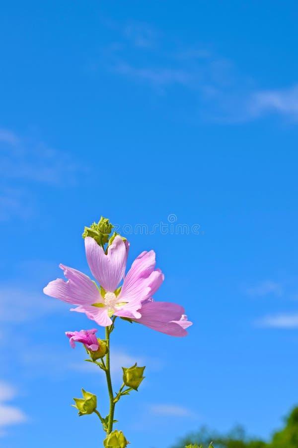 Piękny menchia kwiat na niebieskiego nieba tle obraz stock