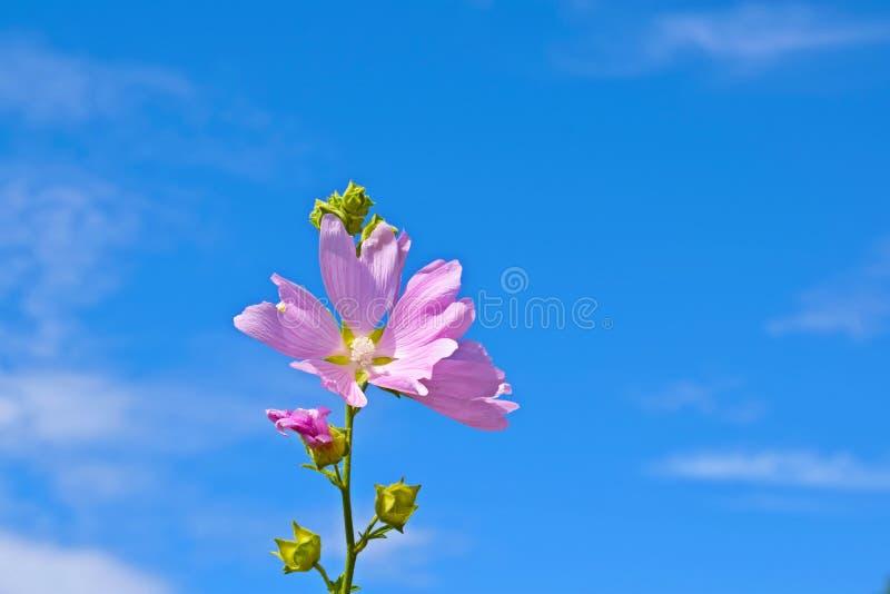 Piękny menchia kwiat na niebieskiego nieba tle obrazy stock