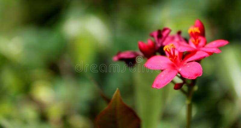 Piękny menchia kwiat od ogródu fotografia stock