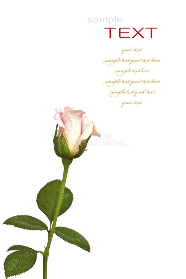Piękny menchia kwiat odizolowywał (Wzrastał) obraz royalty free