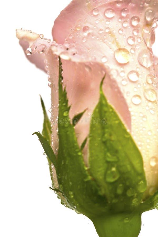 Piękny menchia kwiat odizolowywał (Wzrastał) fotografia royalty free