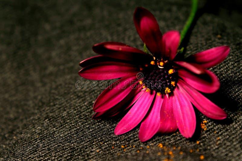 Piękny menchia kwiat zawijający w popielatym tle obrazy royalty free