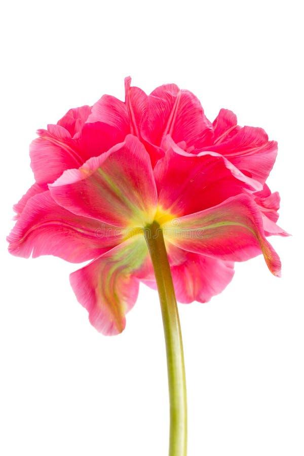 Piękny menchii kopii peoni tulipan na bielu obraz stock