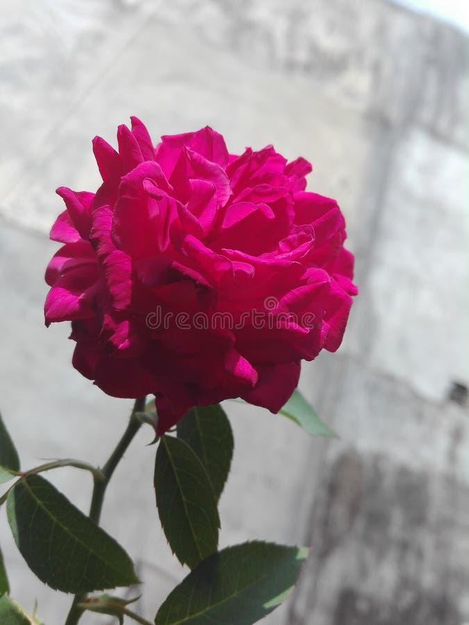 Piękny menchii róży kwiat sri lanki naturalna fotografia zdjęcie royalty free