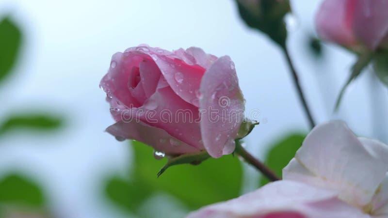 Piękny menchii róży kwitnienie w ogródzie, miękka ostrość obrazy royalty free