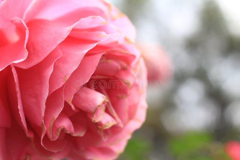 Piękny menchii róży zakończenie up dla walentynki obrazy royalty free