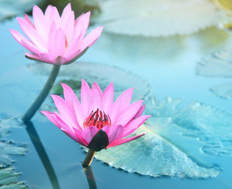Piękny menchii wody Lilly kwiat Różowy lotos obraz royalty free