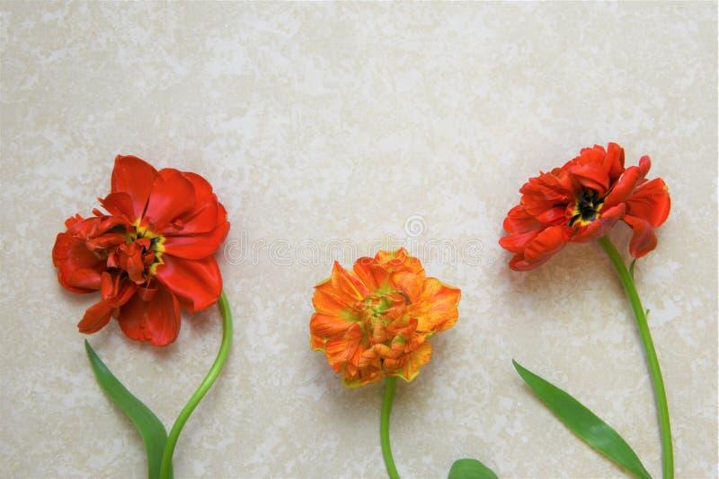 Piękny mieszkanie kłaść z czerwonej peoni tulipanowymi kwiatami zdjęcie royalty free