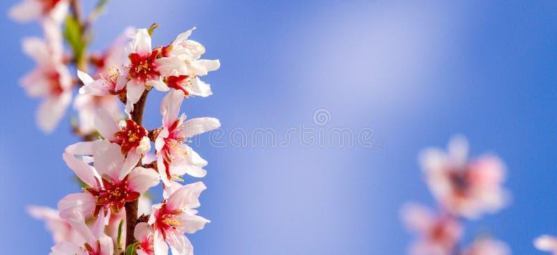 Piękny migdał kwitnie na almont gałąź z niebieskiego nieba tłem obrazy stock