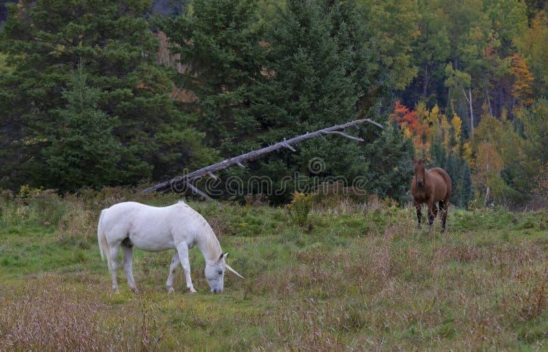 Piękny mityczny jednorożec pasanie w trawiastym polu na gospodarstwie rolnym w Kanada w jesieni zdjęcia stock