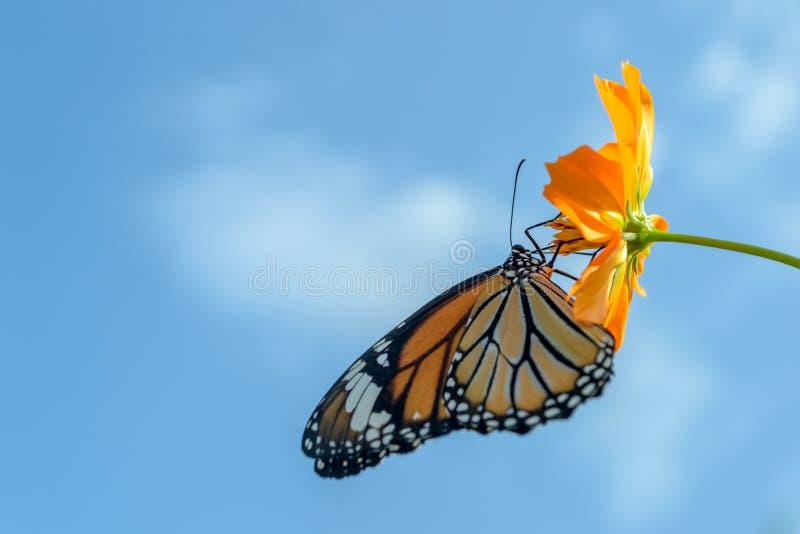Piękny Monarchicznego motyla karmienie na kosmosie kwitnie przeciw niebieskiemu niebu fotografia royalty free