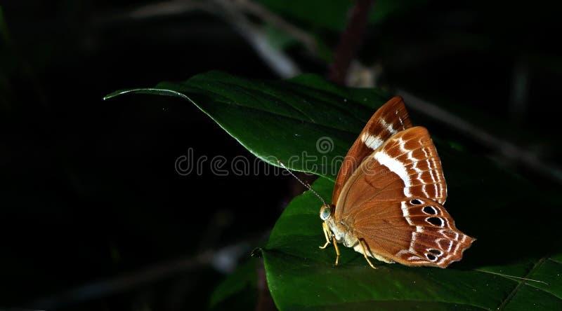 Piękny motyl, Anormalny Śliwkowy Judy, Abisara abnormis fotografia stock