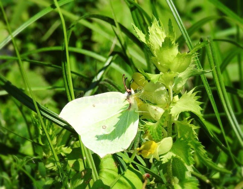 Piękny motyl na żółtym kwiacie, Lithuania zdjęcia royalty free