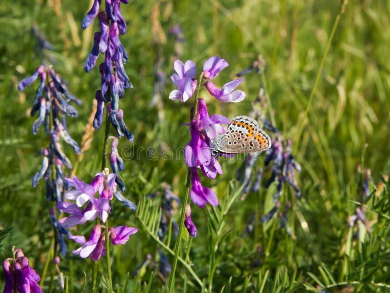 Piękny motyl na kwiacie w łące, zdjęcia stock