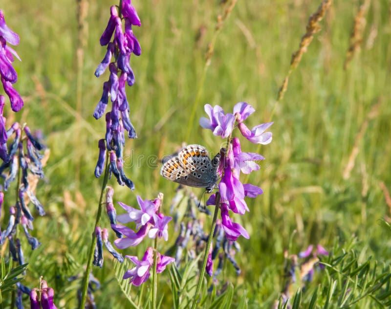 Piękny motyl na kwiacie wewnątrz, łąka zdjęcia royalty free