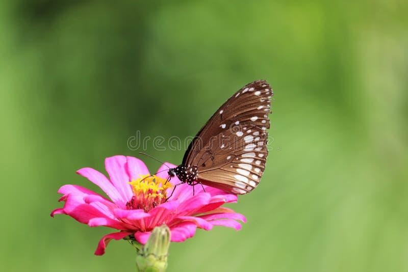 Piękny motyl na menchia kwiatu zapasu wizerunku obrazy royalty free