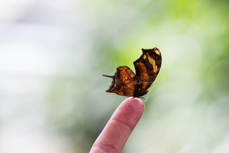 Piękny motyl na palcu Lata greenery obraz stock
