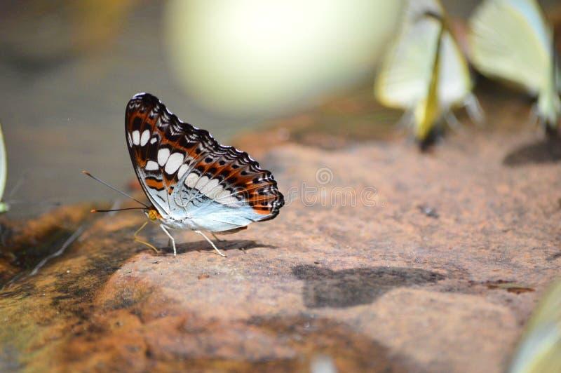 Piękny motyl na skale obrazy royalty free