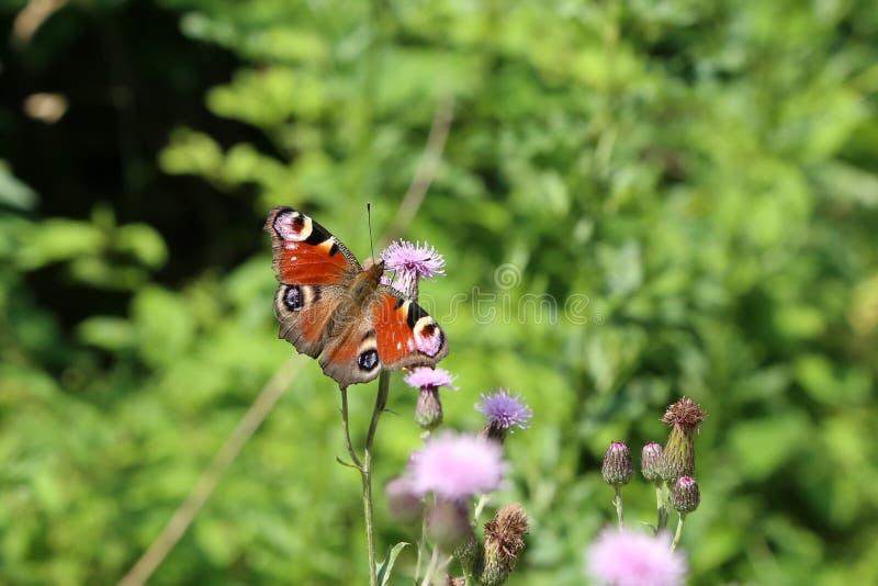 Piękny motyl pije nektar od kwiatu fotografia stock