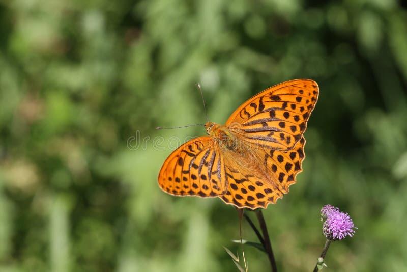 Piękny motyl pije nektar od kwiatu zdjęcie royalty free