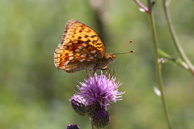 Piękny motyl pije nektar od kwiatu obrazy royalty free