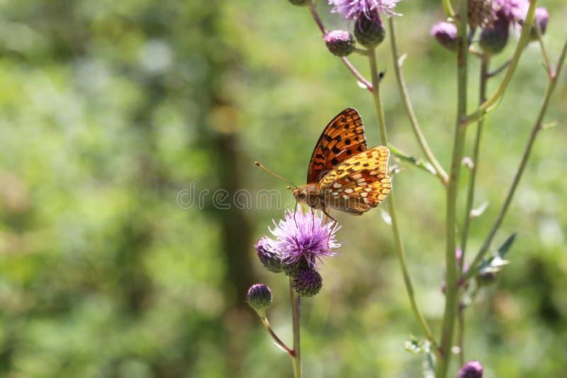 Piękny motyl pije nektar od kwiatu obraz stock