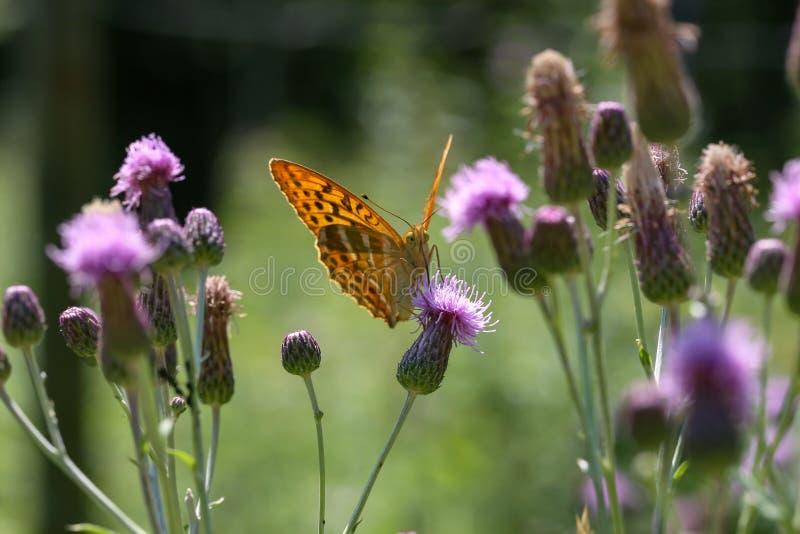 Piękny motyl pije nektar od kwiatu zdjęcia stock