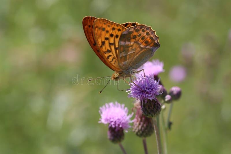 Piękny motyl pije nektar od kwiatu fotografia royalty free