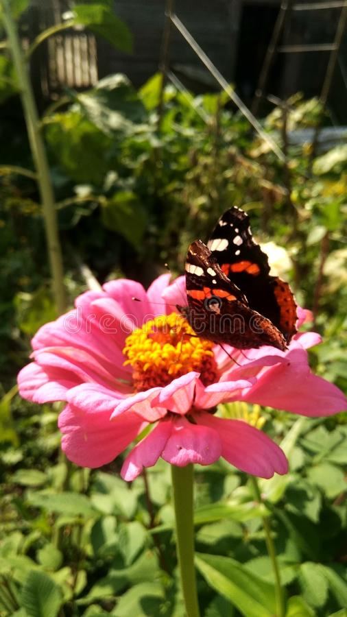 Piękny motyl siedzi na różowej stokrotce fotografia stock
