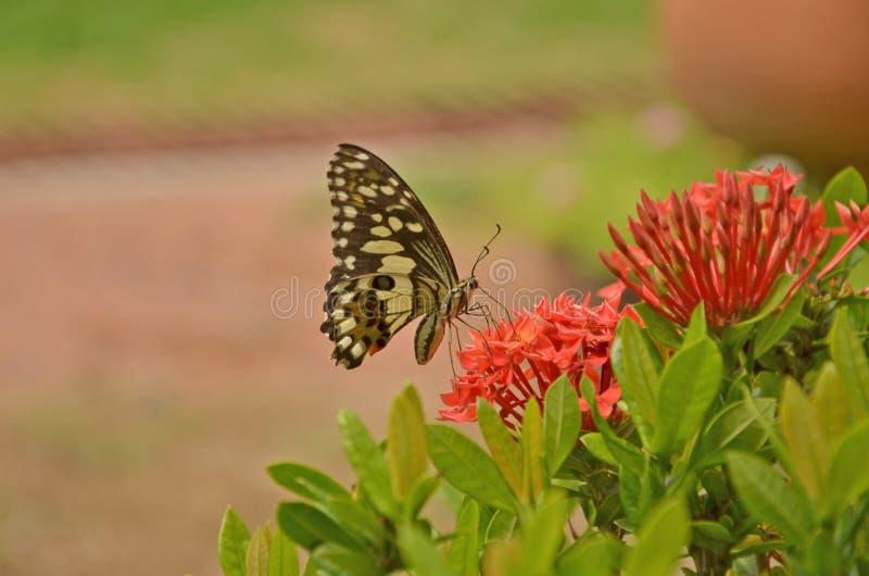 Piękny motyl z czerwonymi ixora kwiatami obrazy stock