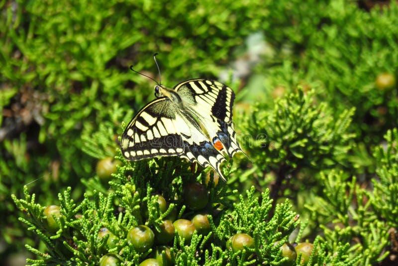 Piękny motyl z skrzydłami, czerwony punkt na ogonie i, Corsica, Sardinia obrazy stock