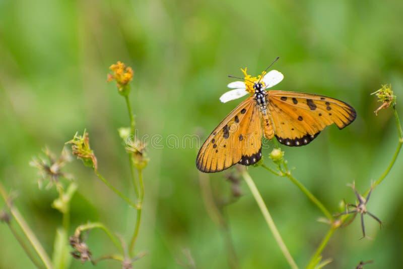 Piękny motyla pobyt i zbieracki nektar na białym kwiacie fotografia stock