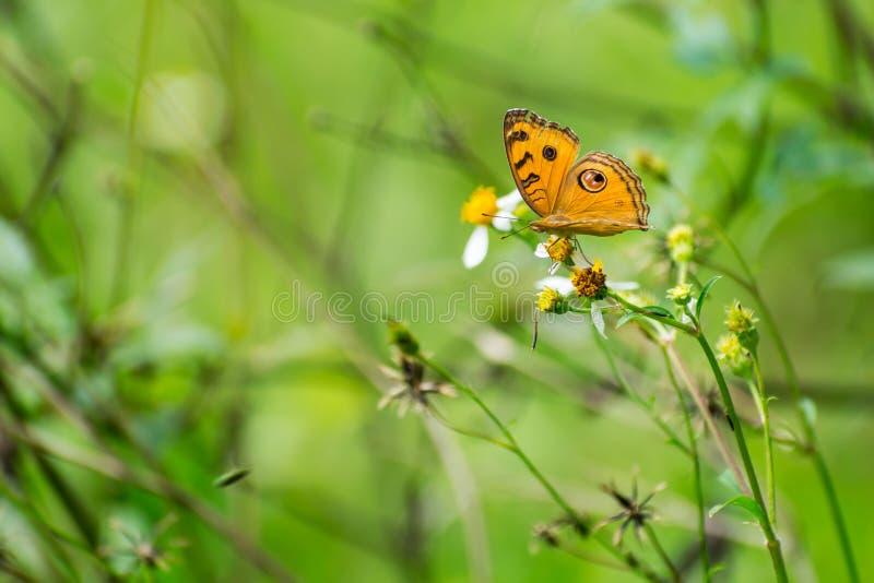 Piękny motyla pobyt i zbieracki nektar na białym kwiacie zdjęcia stock