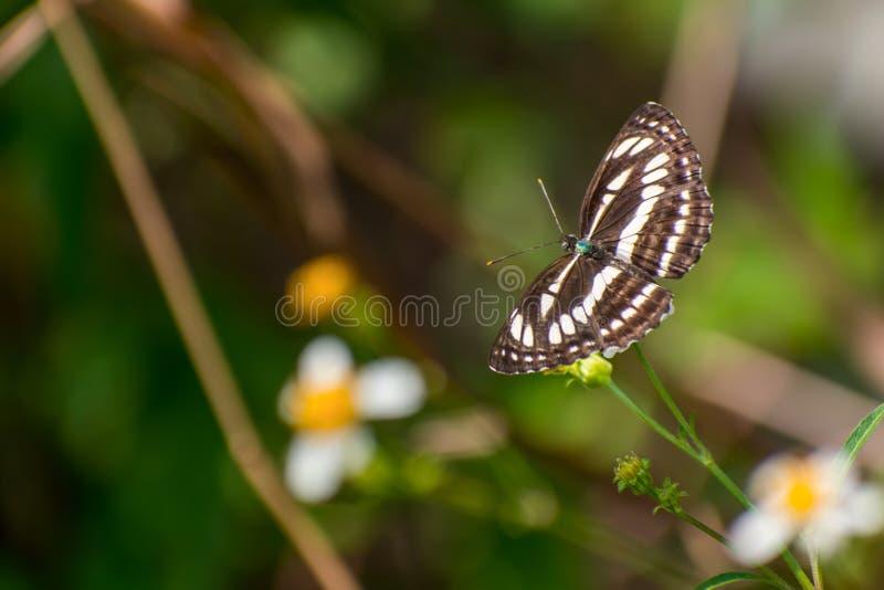 Piękny motyla pobyt i zbieracki nektar na białym kwiacie zdjęcie royalty free