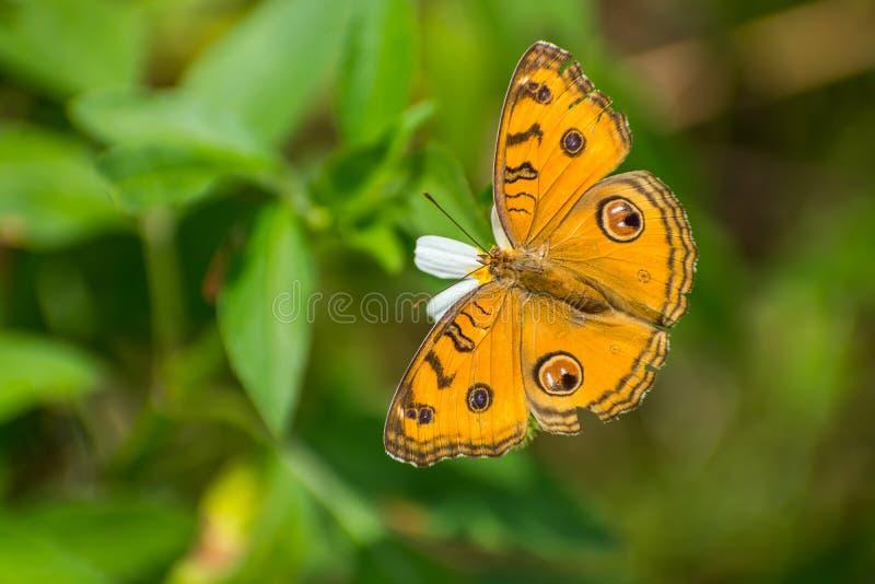 Piękny motyla pobyt i zbieracki nektar na białym kwiacie zdjęcia royalty free