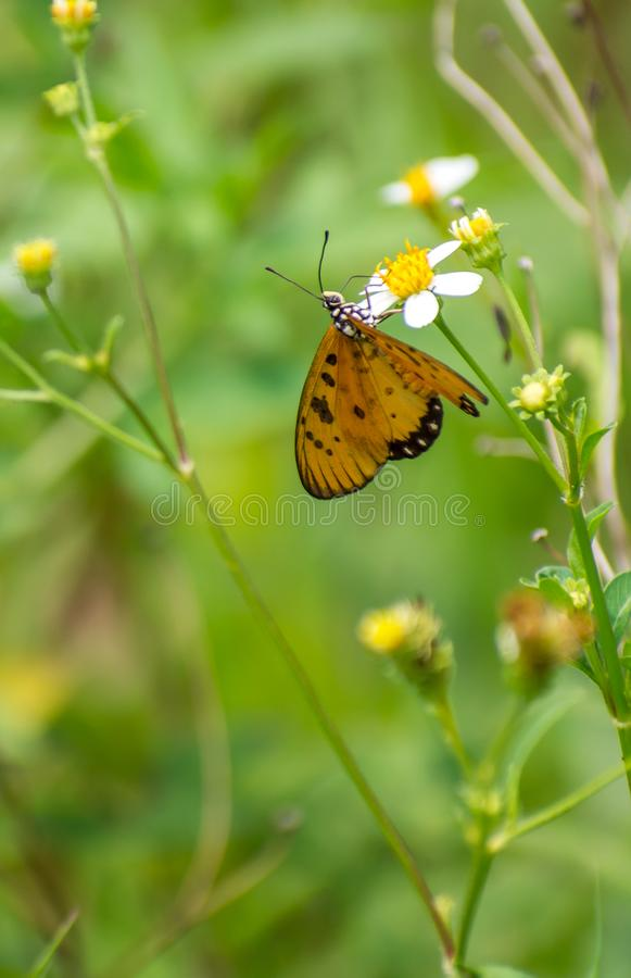 Piękny motyla pobyt i zbieracki nektar na białym kwiacie zdjęcie stock