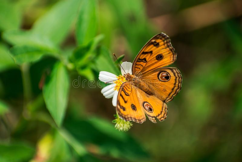 Piękny motyla pobyt i zbieracki nektar na białym kwiacie obraz royalty free