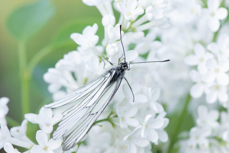 Piękny motyli aporii crataegi zbliżenie zbiera nektar od krzaka bez w lecie fotografia stock