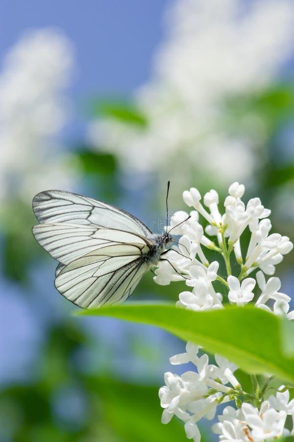 Piękny motyli aporii crataegi zbliżenie zbiera nektar od krzaka bez w lecie obrazy stock