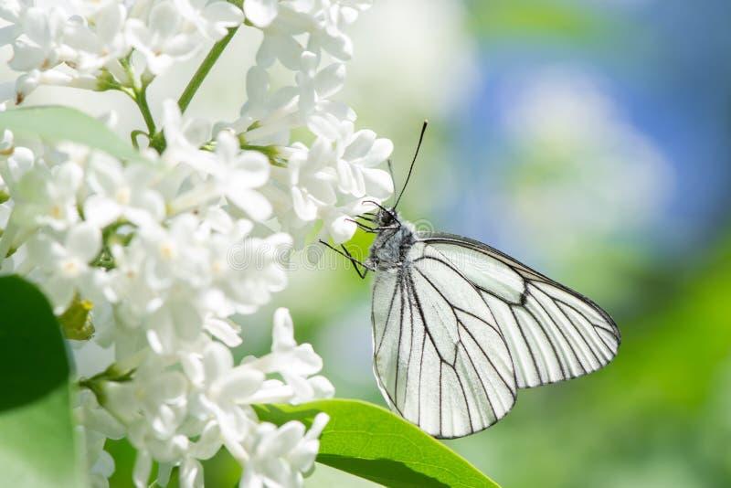 Piękny motyli aporii crataegi zbliżenie zbiera nektar od krzaka bez w lecie zdjęcie stock