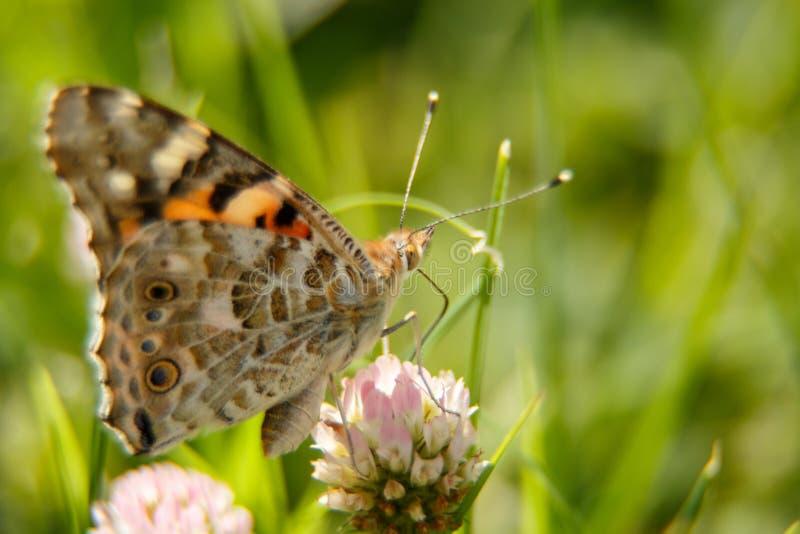 Piękny motyli napoju nektar od różowego kwiatu na słonecznym dniu makrofotografia selekcyjna ostrość z małym chwytem zdjęcie royalty free