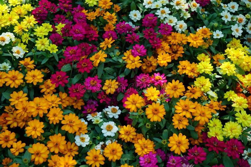 piękny multicolor kwiat dla kwiecistego tła fotografia stock