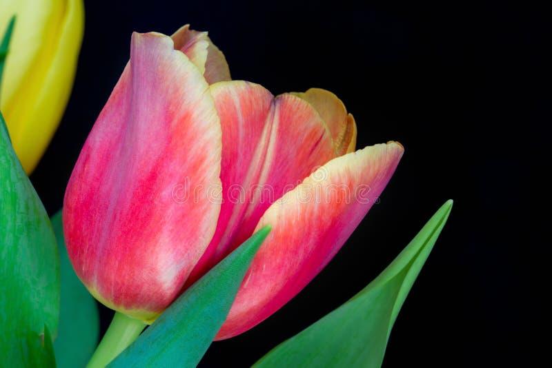 Piękny multicolor tulipan, czarny tło 1 obrazy royalty free
