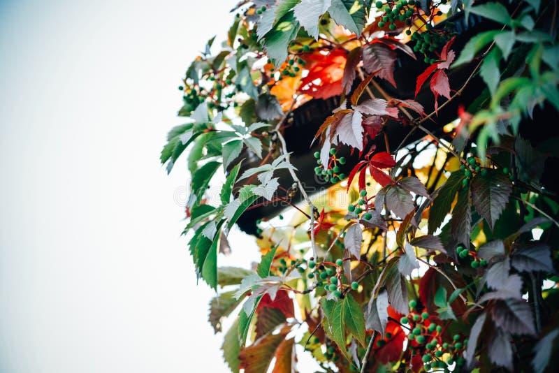 Piękny natura krajobraz z kolorowymi dzikimi winogrono liśćmi, jagodami przeciw błękitnemu jesieni niebu i fotografia stock